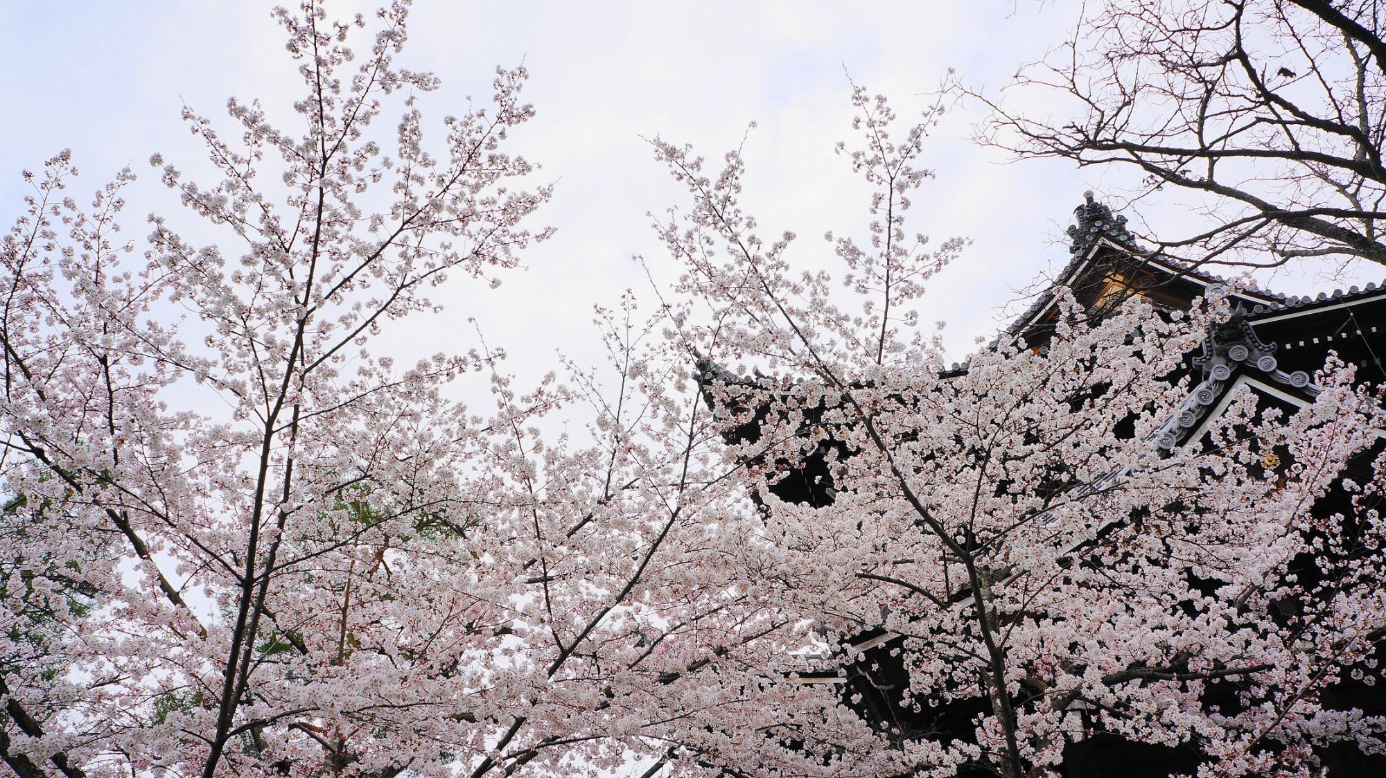 三門 桜 満開 春