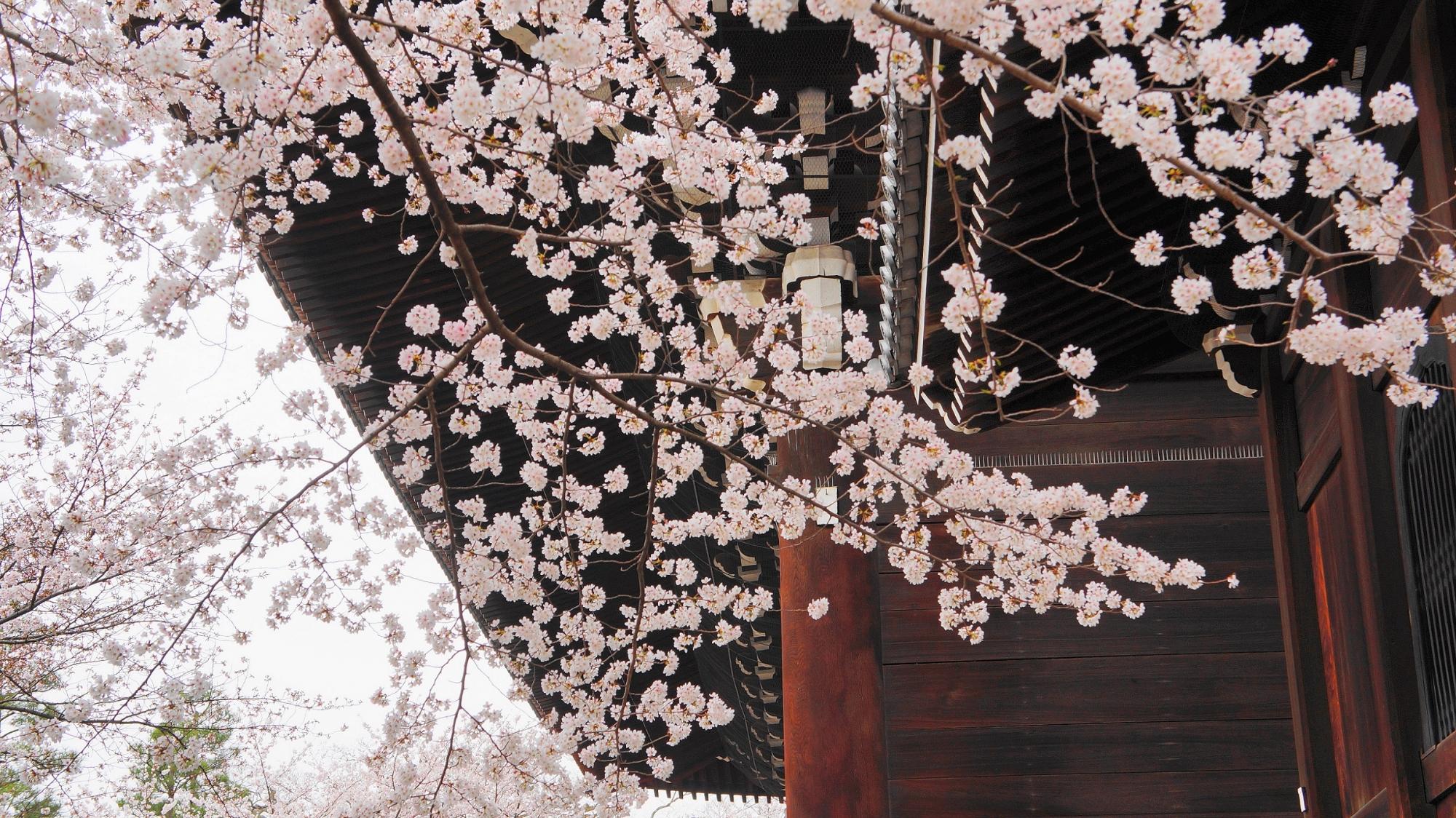 知恩院の日本最大の三門と満開の桜
