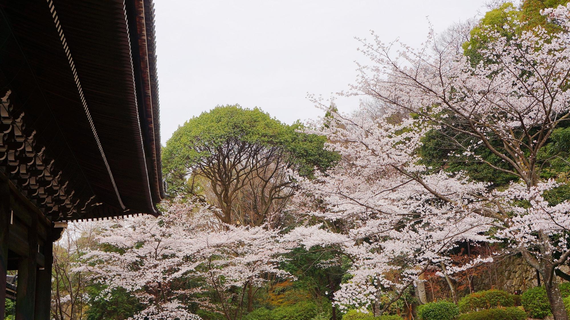 知恩院の三門と満開の桜 2013年3月