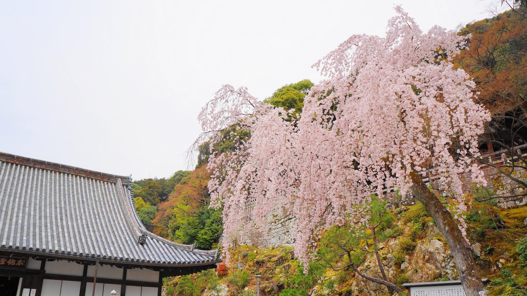 知恩院の御廟前の満開のしだれ桜