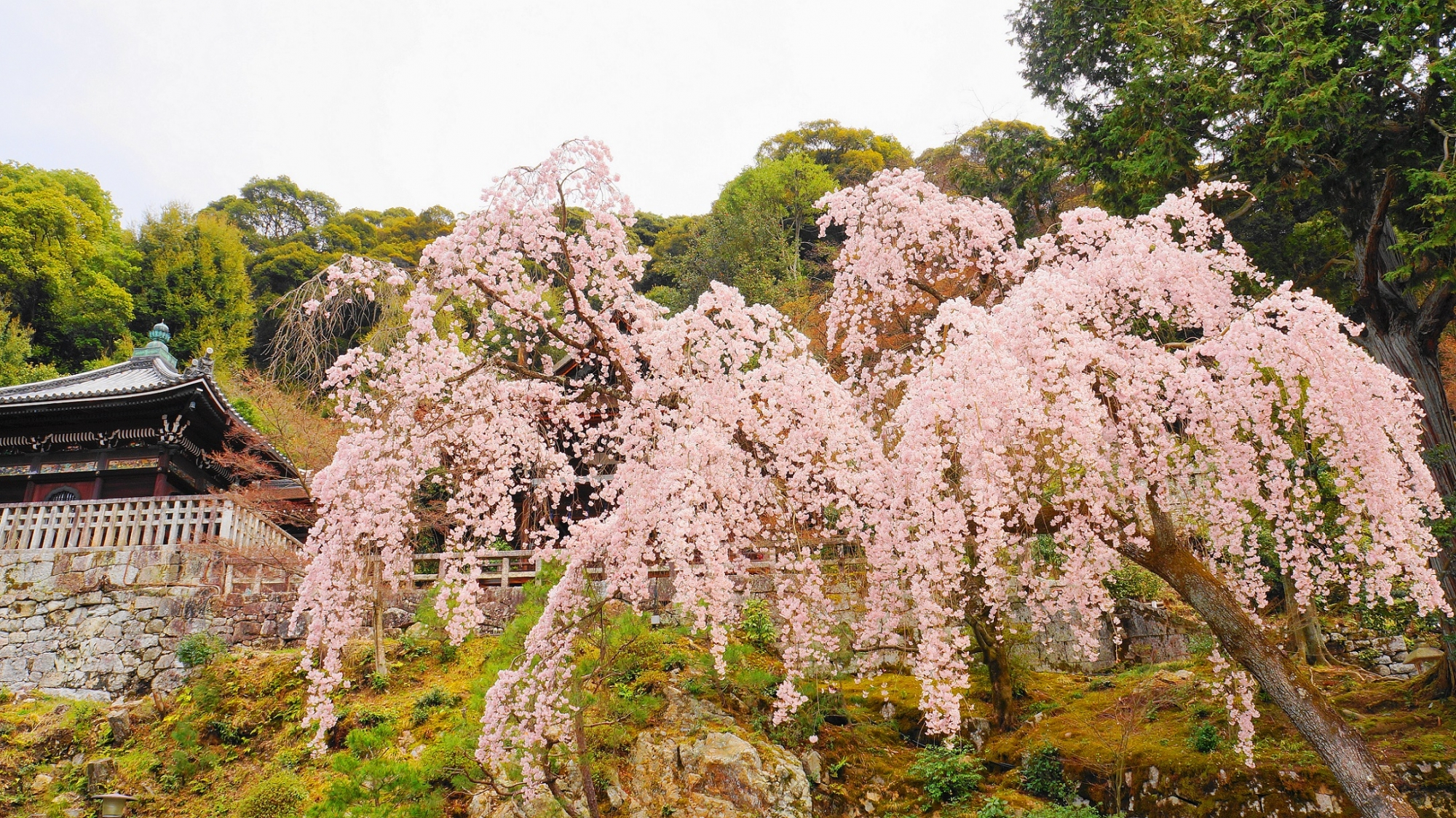 知恩院の勢至堂・御廟前の満開の見事なしだれ桜