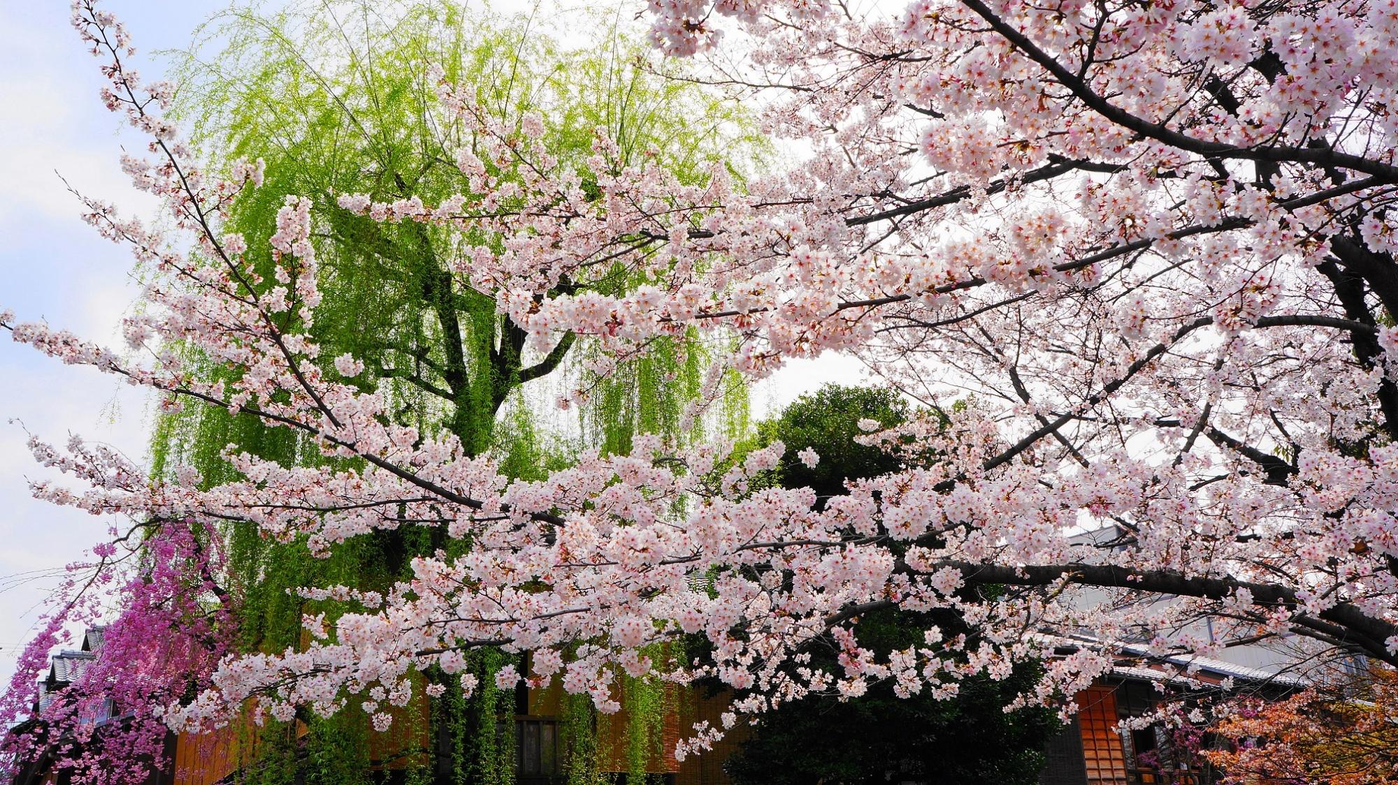 風情ある祇園白川の見事な柳と満開のしだれ桜