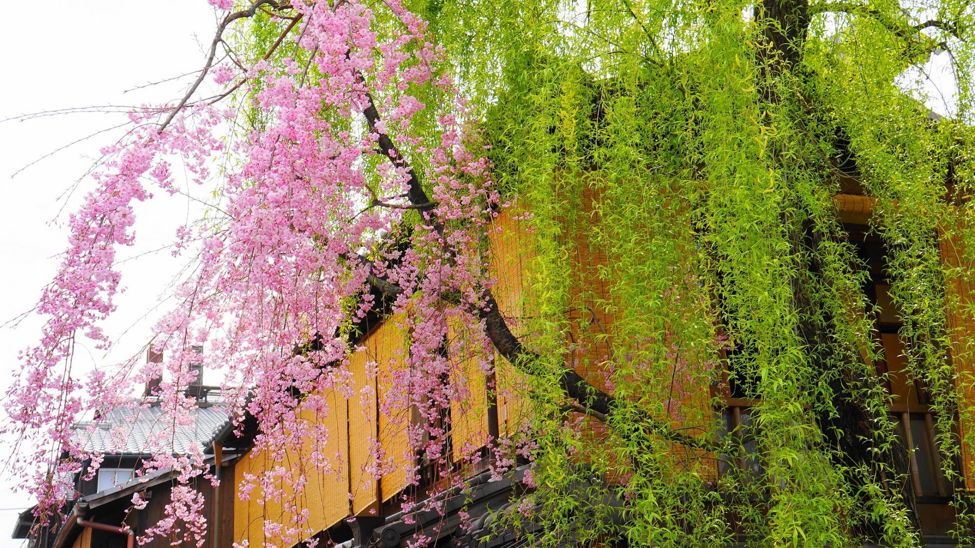 祇園白川の柳と満開のしだれ桜
