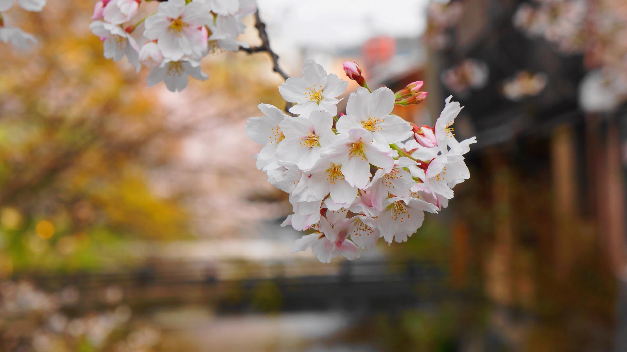 情緒ある京都祇園白川の春の満開の桜