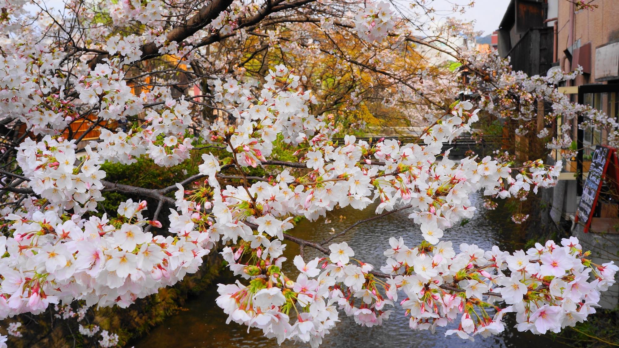 祇園白川の鮮やかな満開の桜
