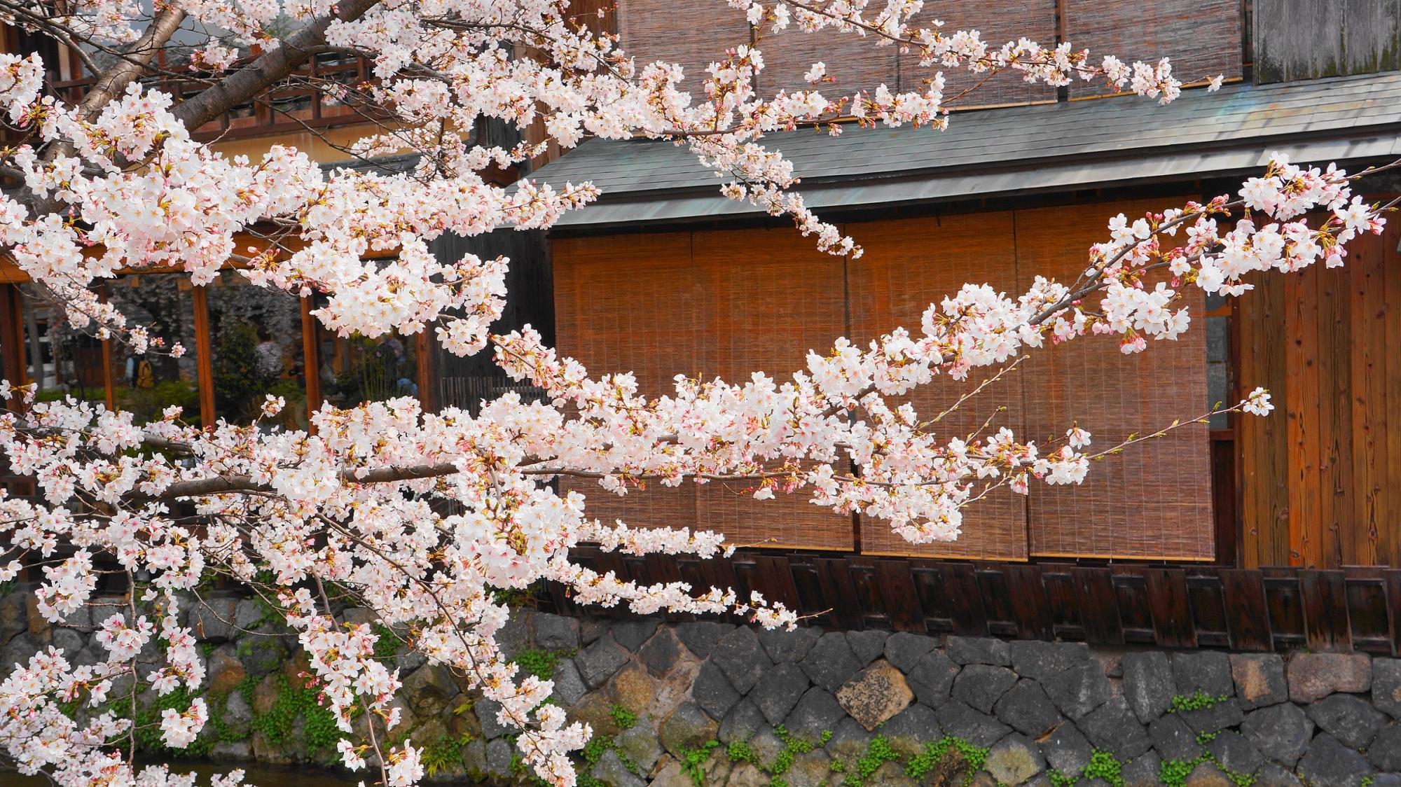 祇園白川 満開 桜 春
