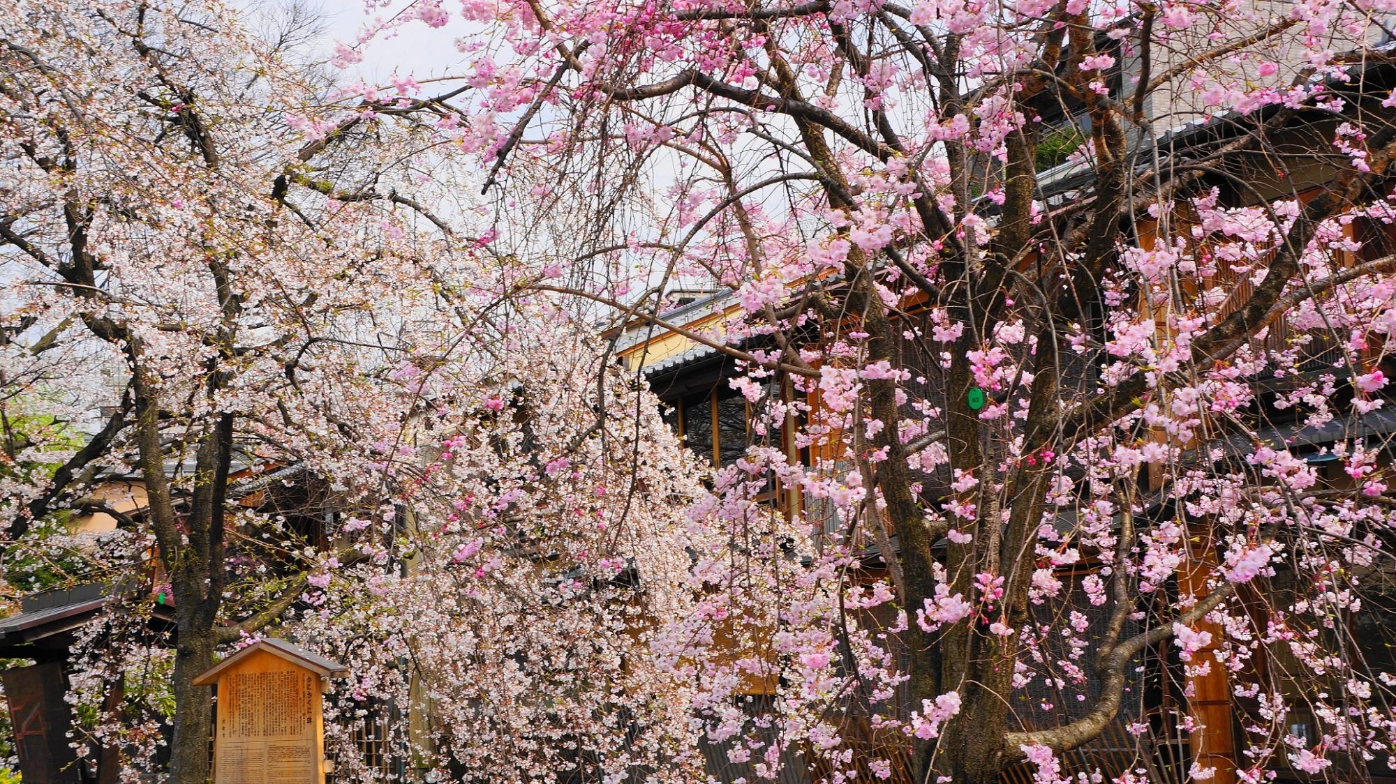 祇園白川の満開の桜
