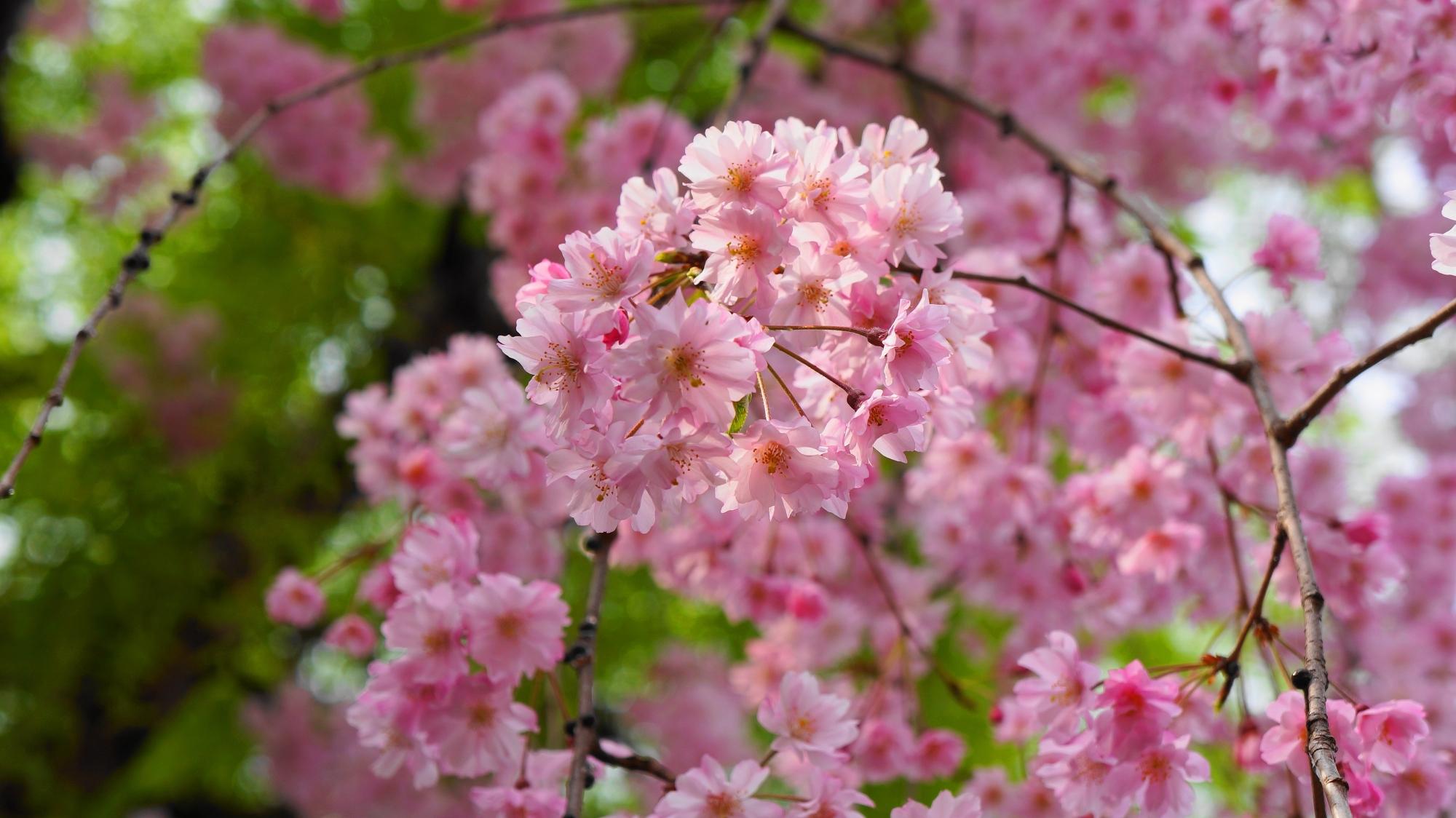 高画質 祇園白川 柳 満開 しだれ桜 写真 春