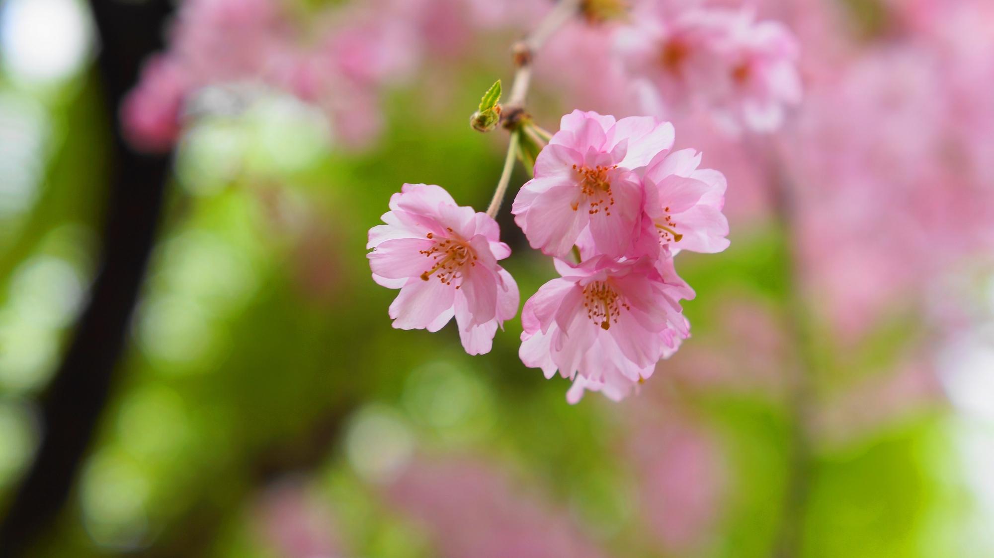 祇園白川の満開のしだれ桜と柳のコラボレーション