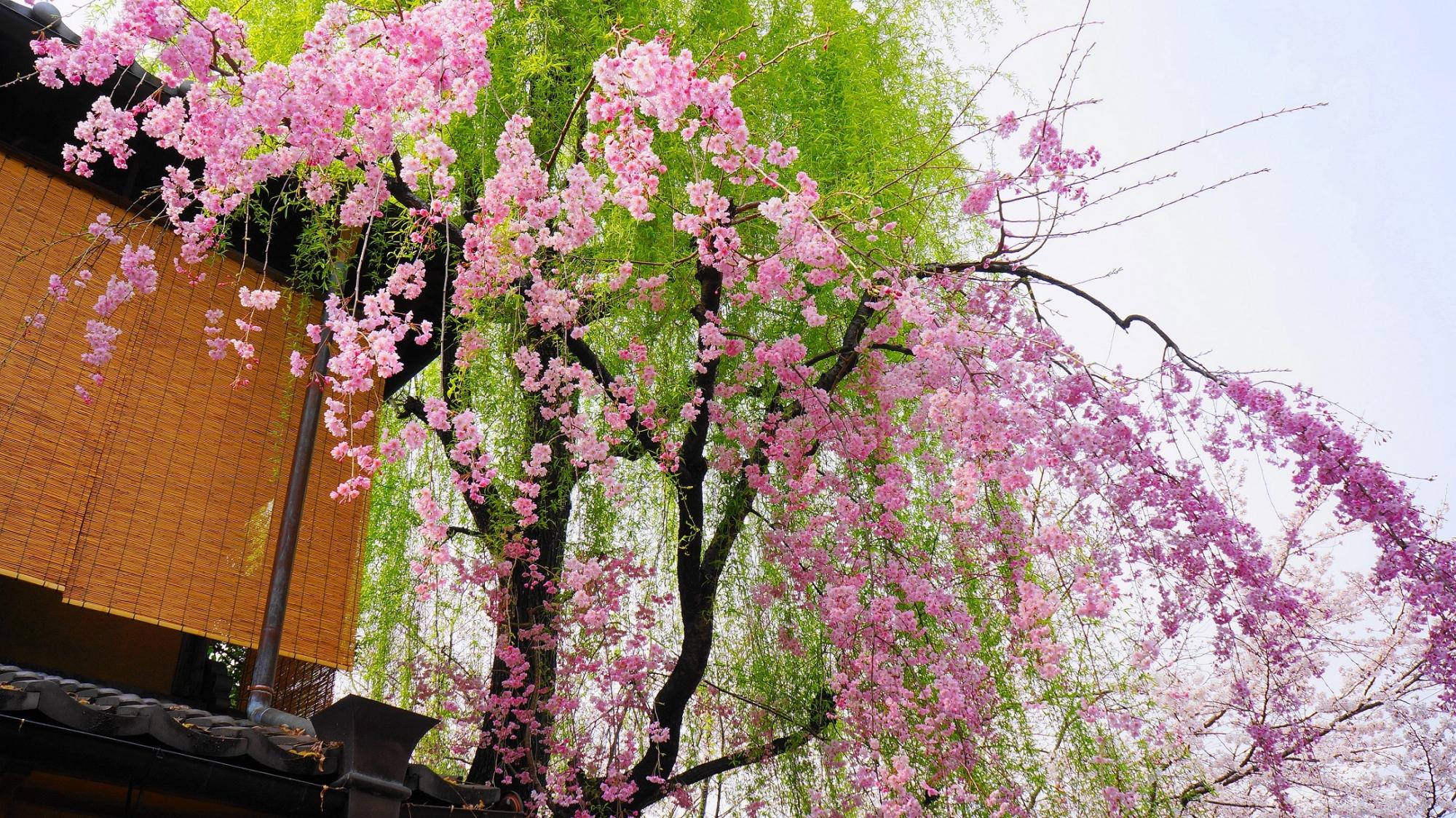 春の京都祇園白川の優美な柳と満開の華やかなしだれ桜