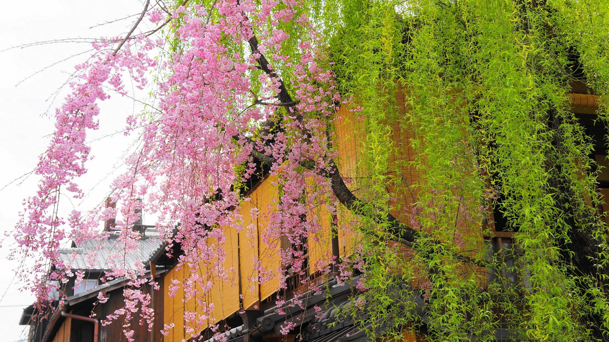 Kyoto Gion Shirakawa weeping cherry tree spring ぎおんしらかわ 桜 柳