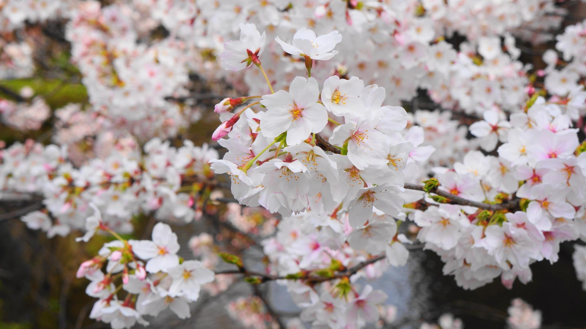 祇園白川の見事な満開の桜