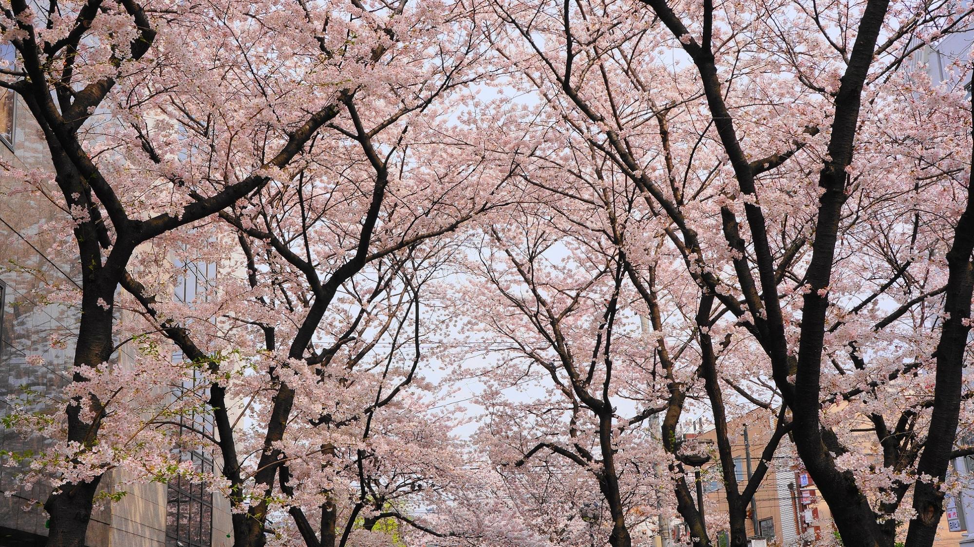祇園白川の春の美しい満開の桜
