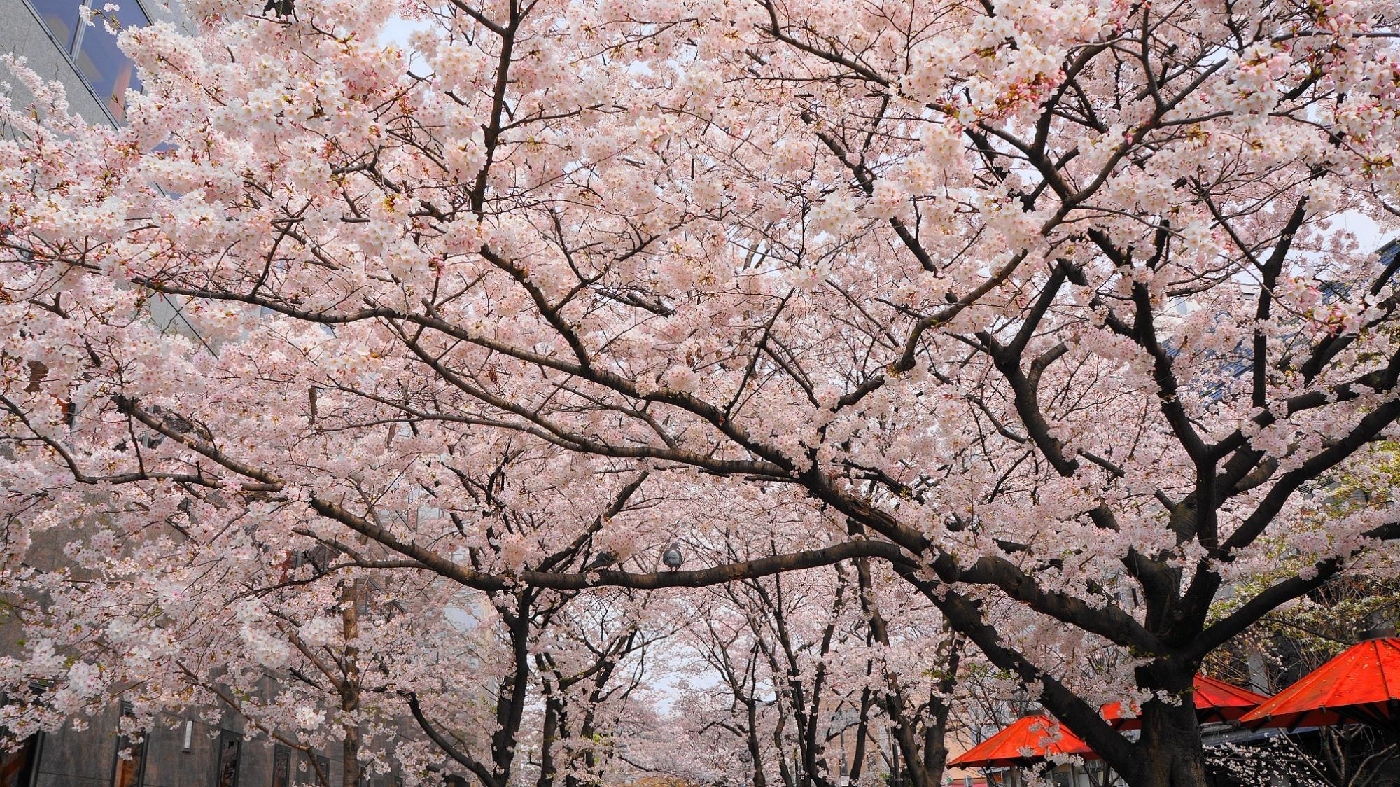 情緒ある祇園白川の華やかな満開の桜