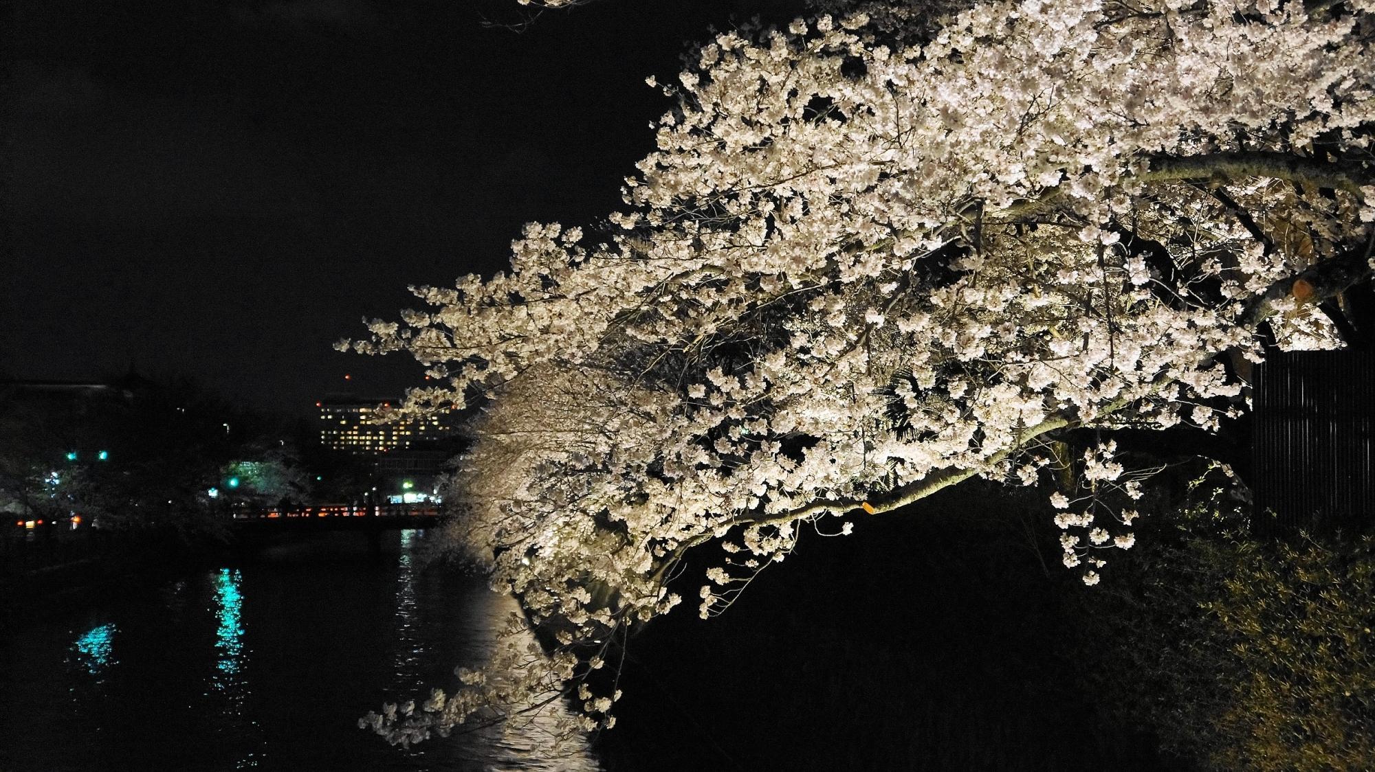 満開の夜桜につつまれた京都岡崎疏水のライトアップ