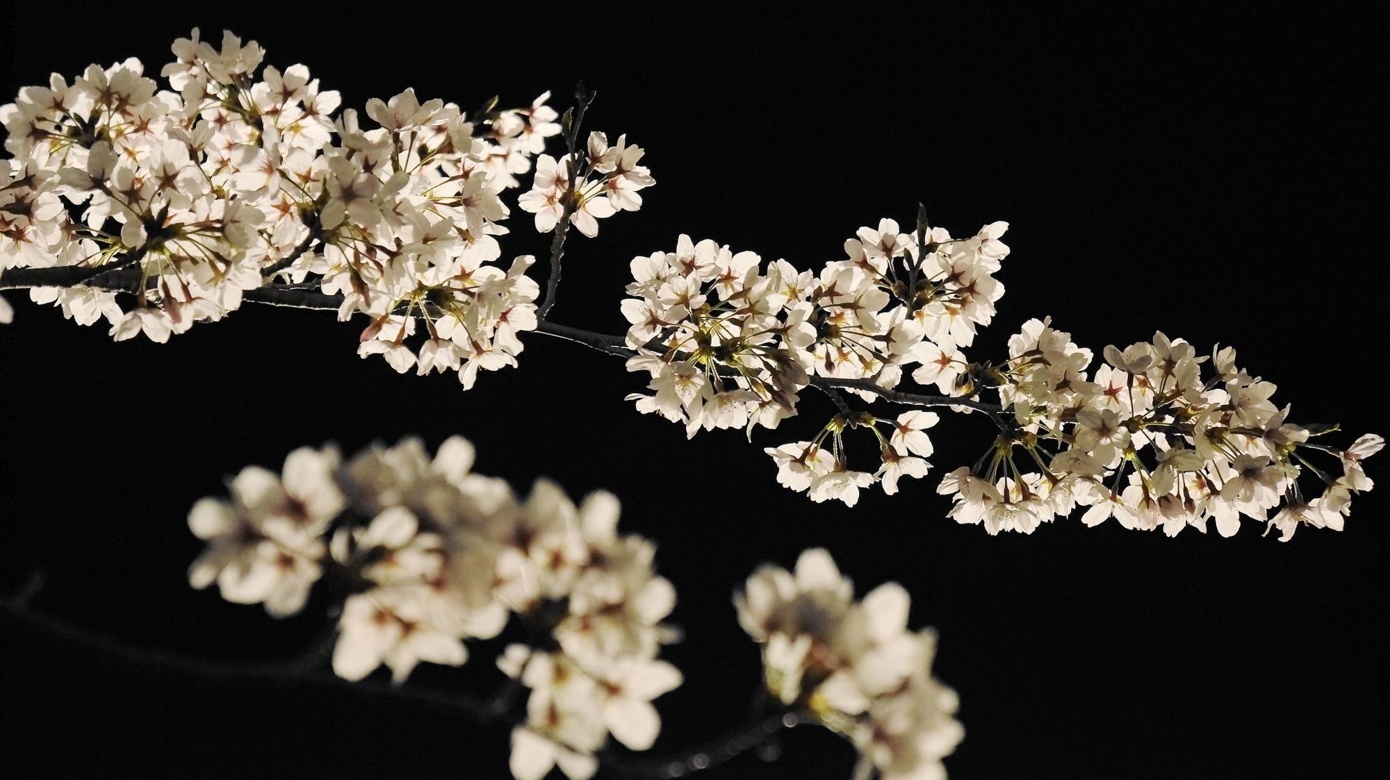 桜の名所の岡崎疏水の幻想的な夜桜ライトアップ