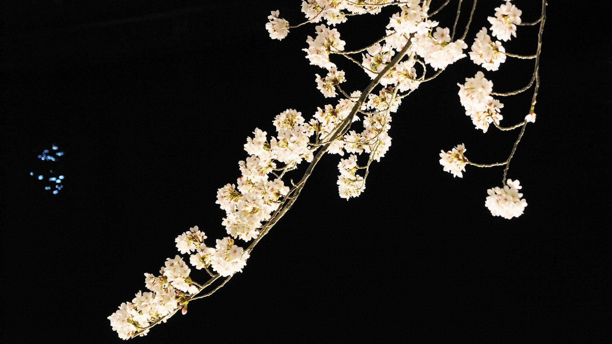 桜の名所の琵琶湖疏水の夜桜ライトアップ