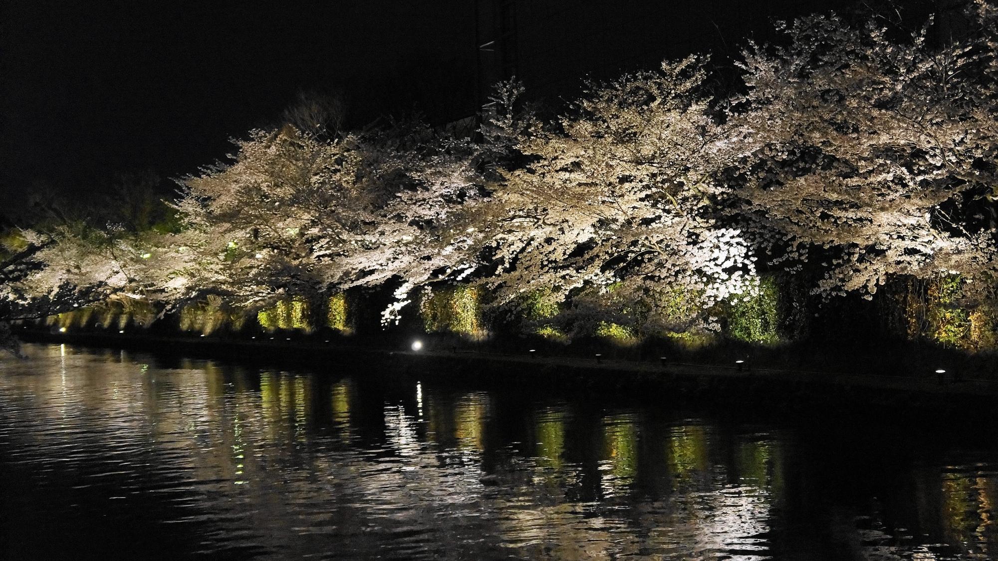 琵琶湖疏水の夜桜ライトアップ