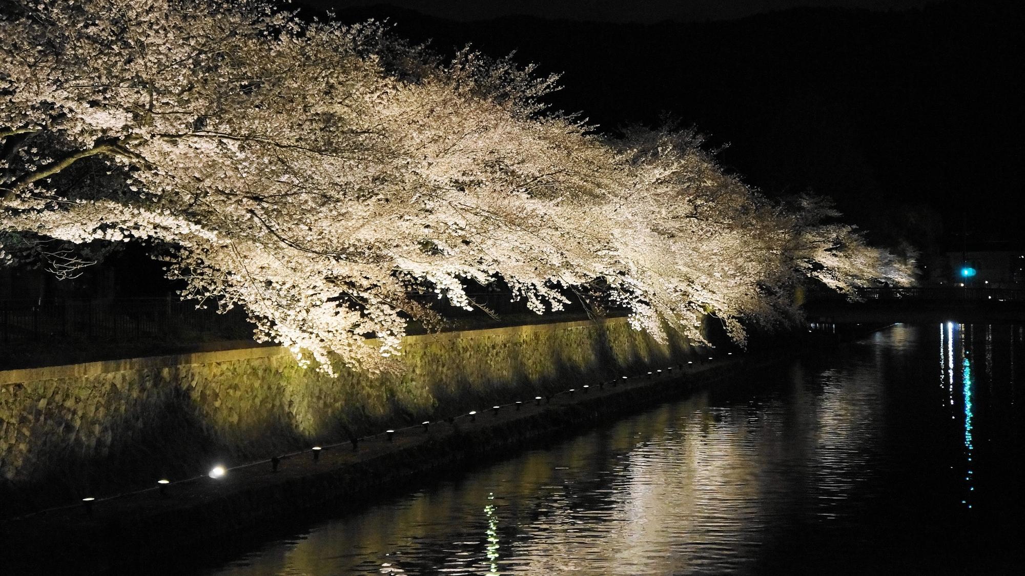 岡崎疏水のあっぱれな夜桜ライトアップ