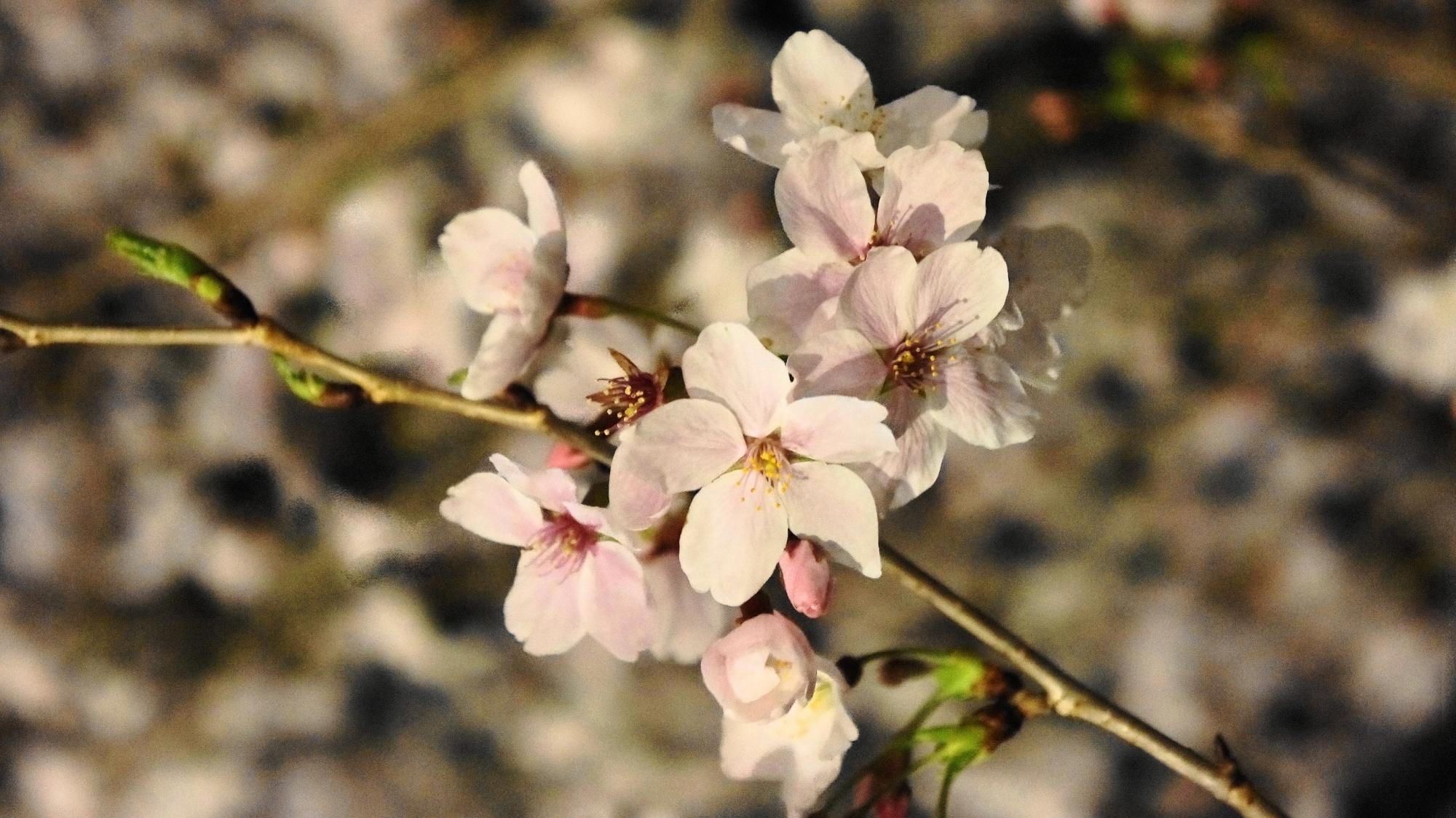 見事にライトアップされた岡崎疏水の夜桜