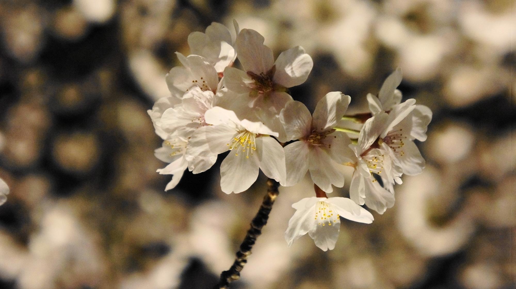 桜の名所の岡崎回廊の夜桜ライトアップ