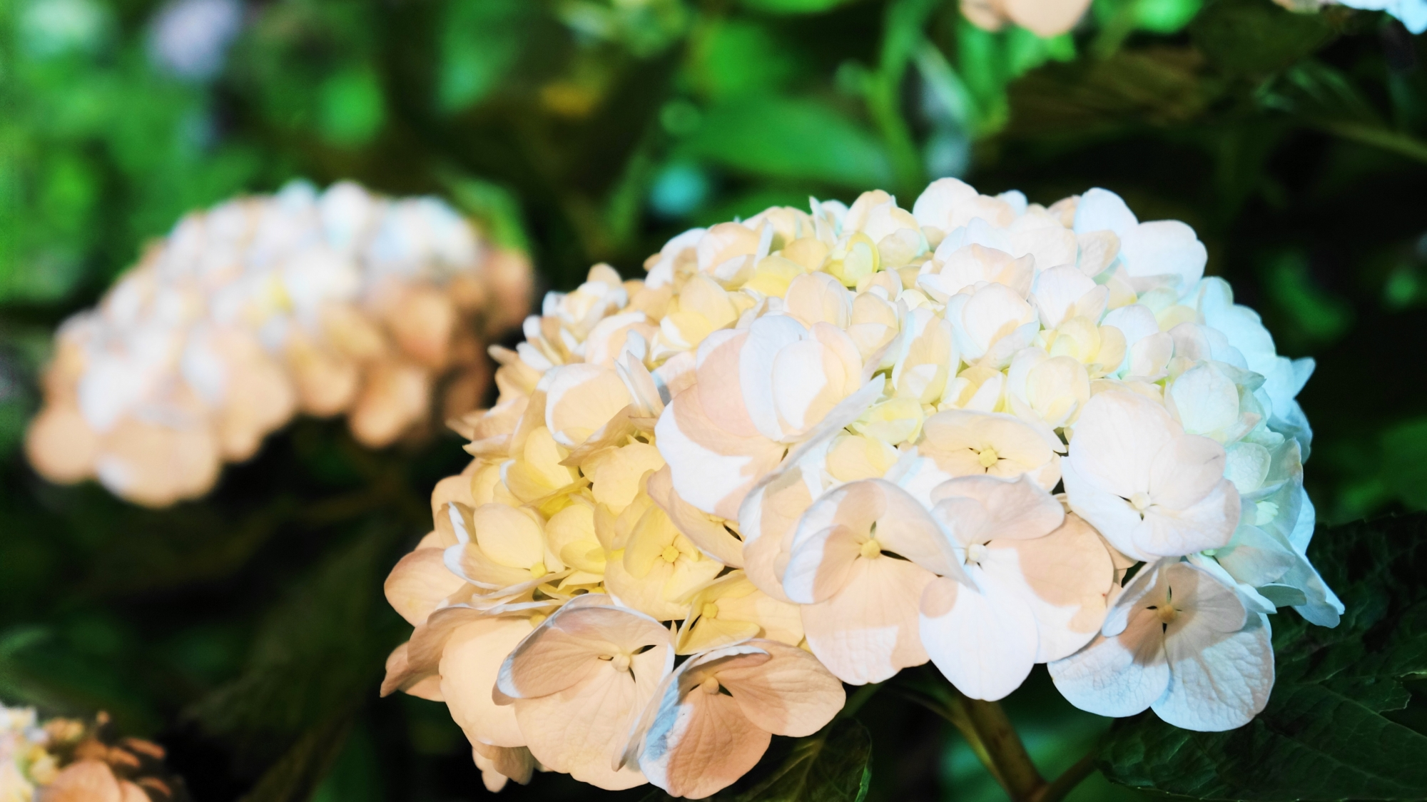 夜に煌く真っ白の紫陽花