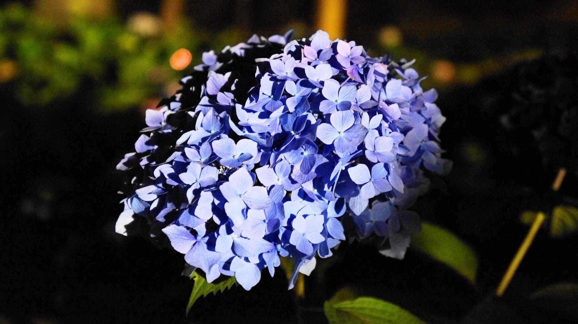 闇夜の中で輝くアジサイの花びら