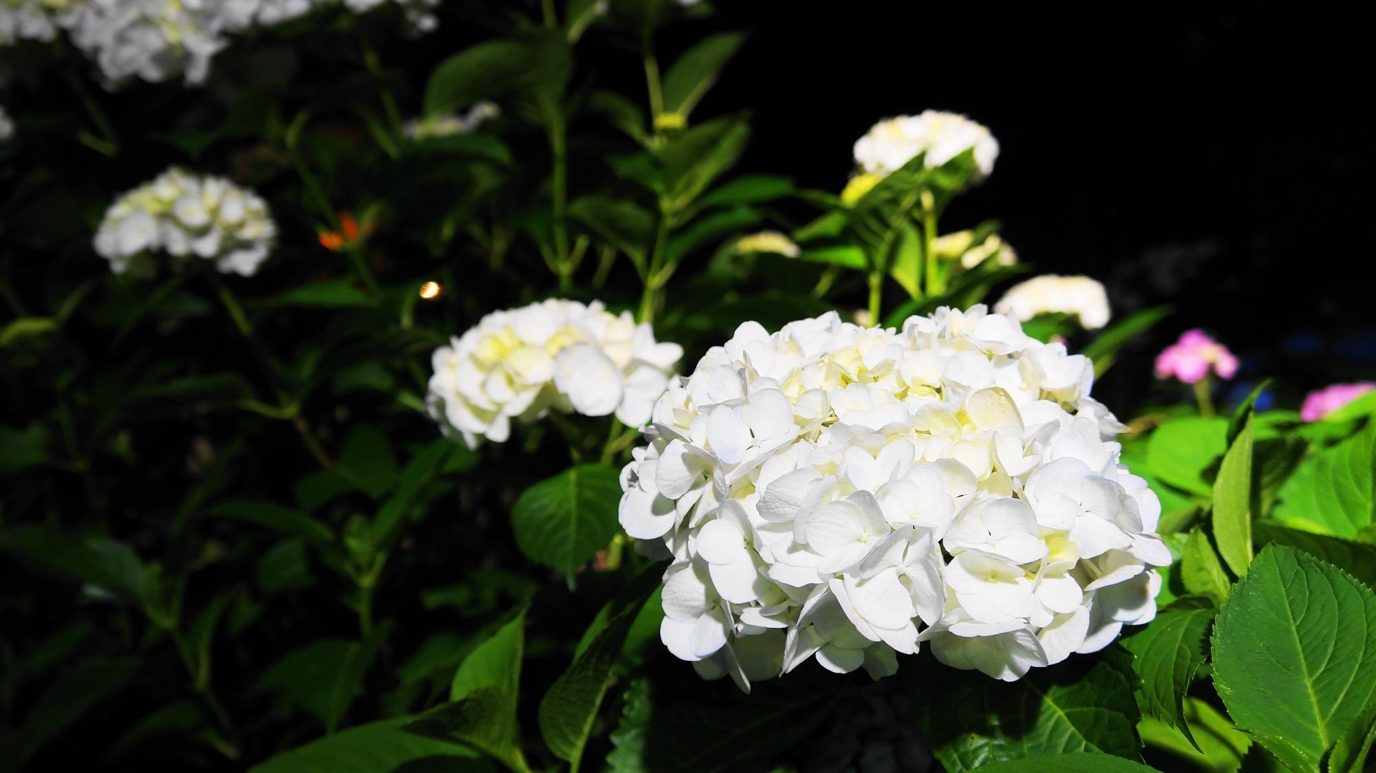 三室戸寺の輝く爽やかな白い紫陽花