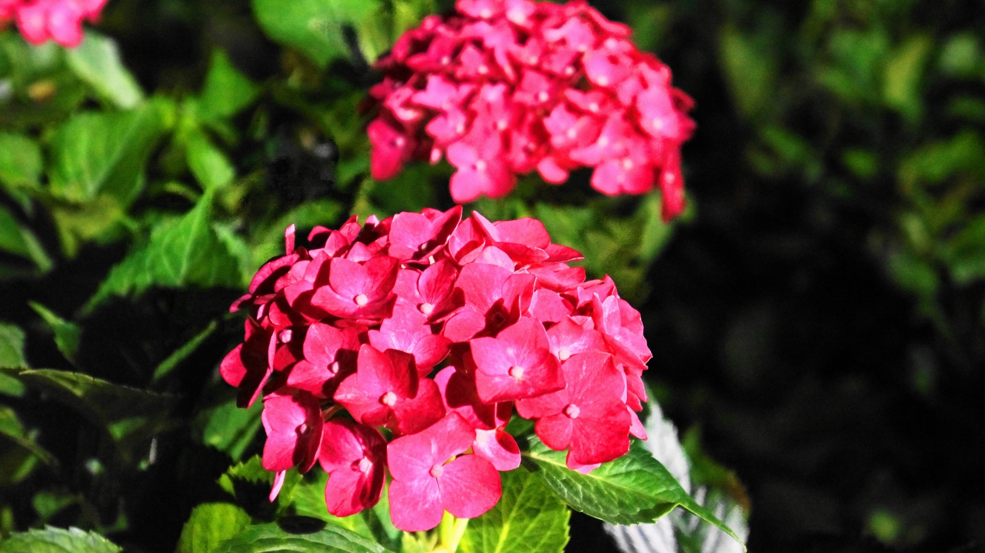三室戸寺の艶やかな濃いピンクの紫陽花