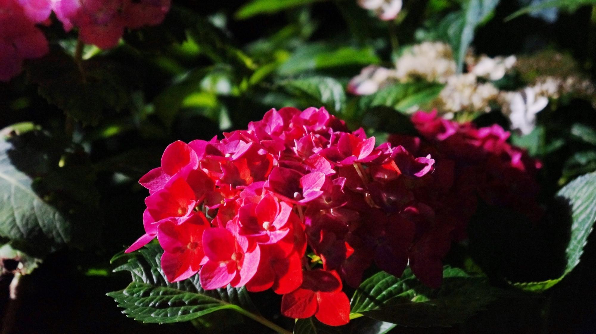 高画質 写真 紫陽花ライトアップ 三室戸寺