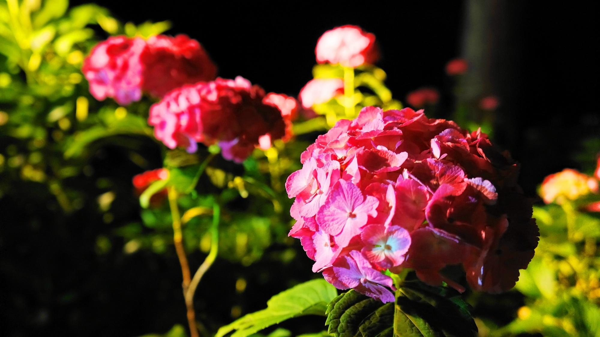 三室戸寺の輝く鮮やかなピンクの紫陽花