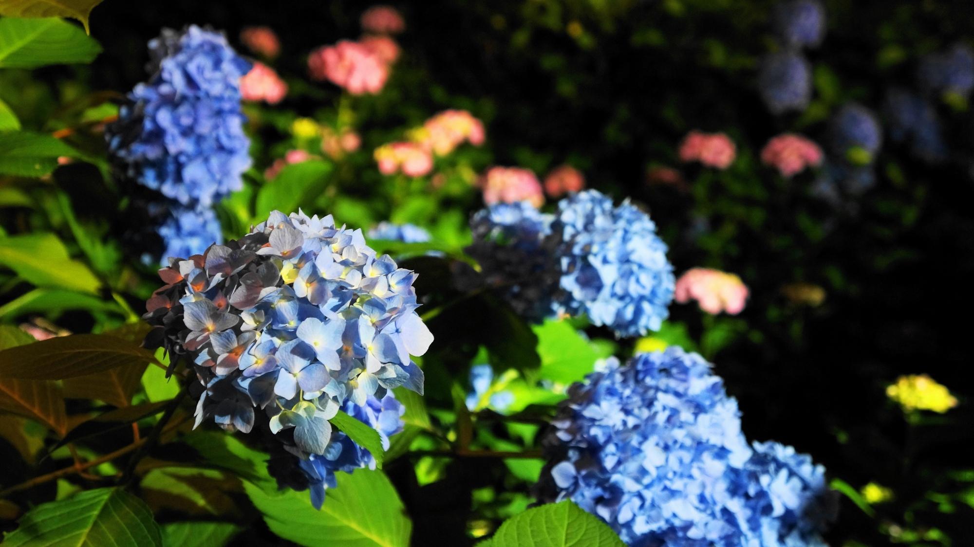 三室戸寺のライトアップされた色とりどりの紫陽花