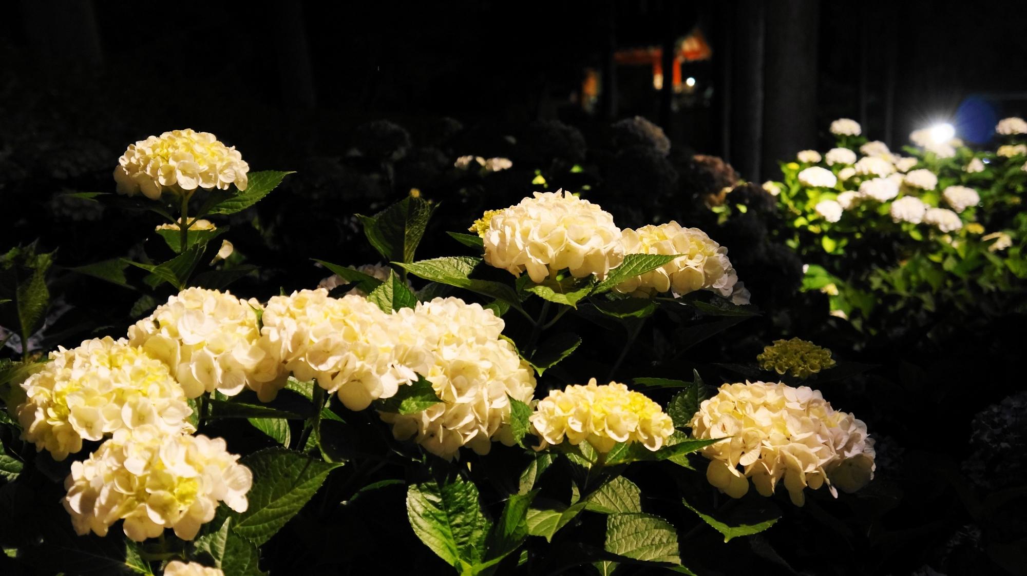 夜を華やぐ淡いクリーム色っぽい紫陽花