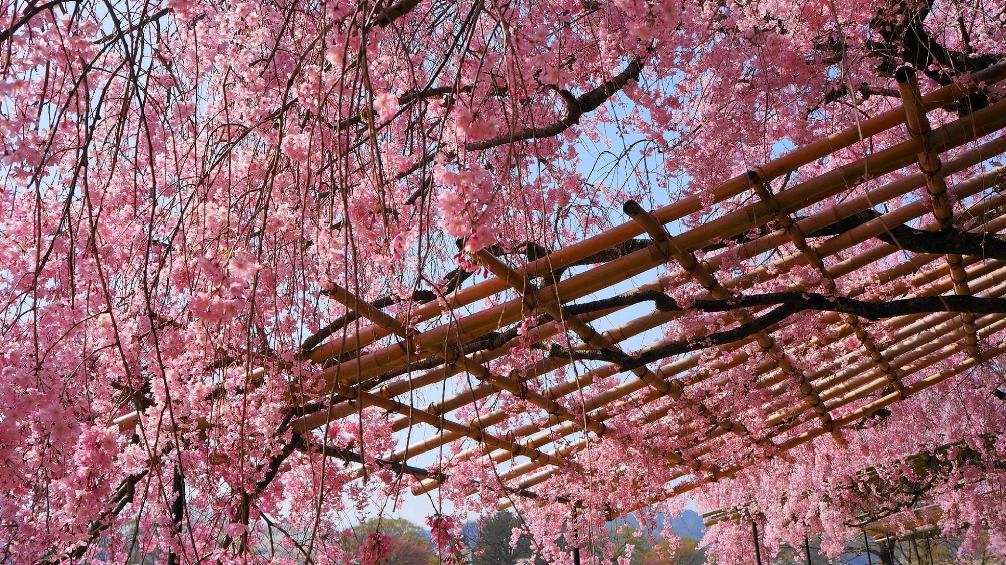 青空に映える美しいしだれ桜