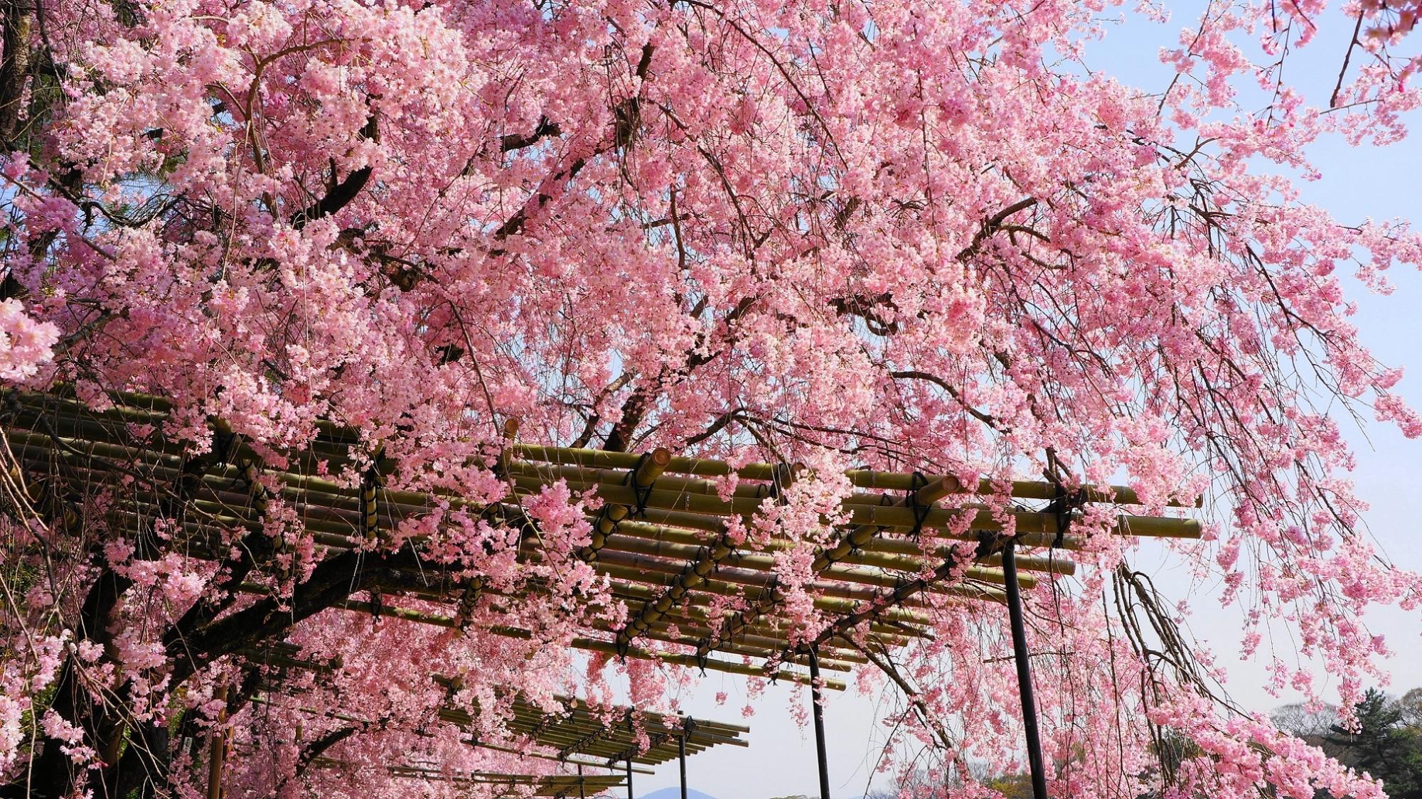 溢れ出す満開の桜の花