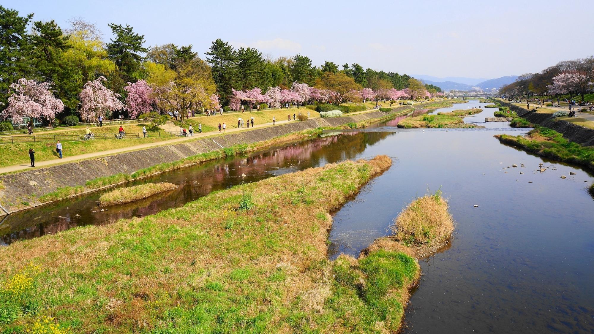 長閑な賀茂川の華やかなしだれ桜並木