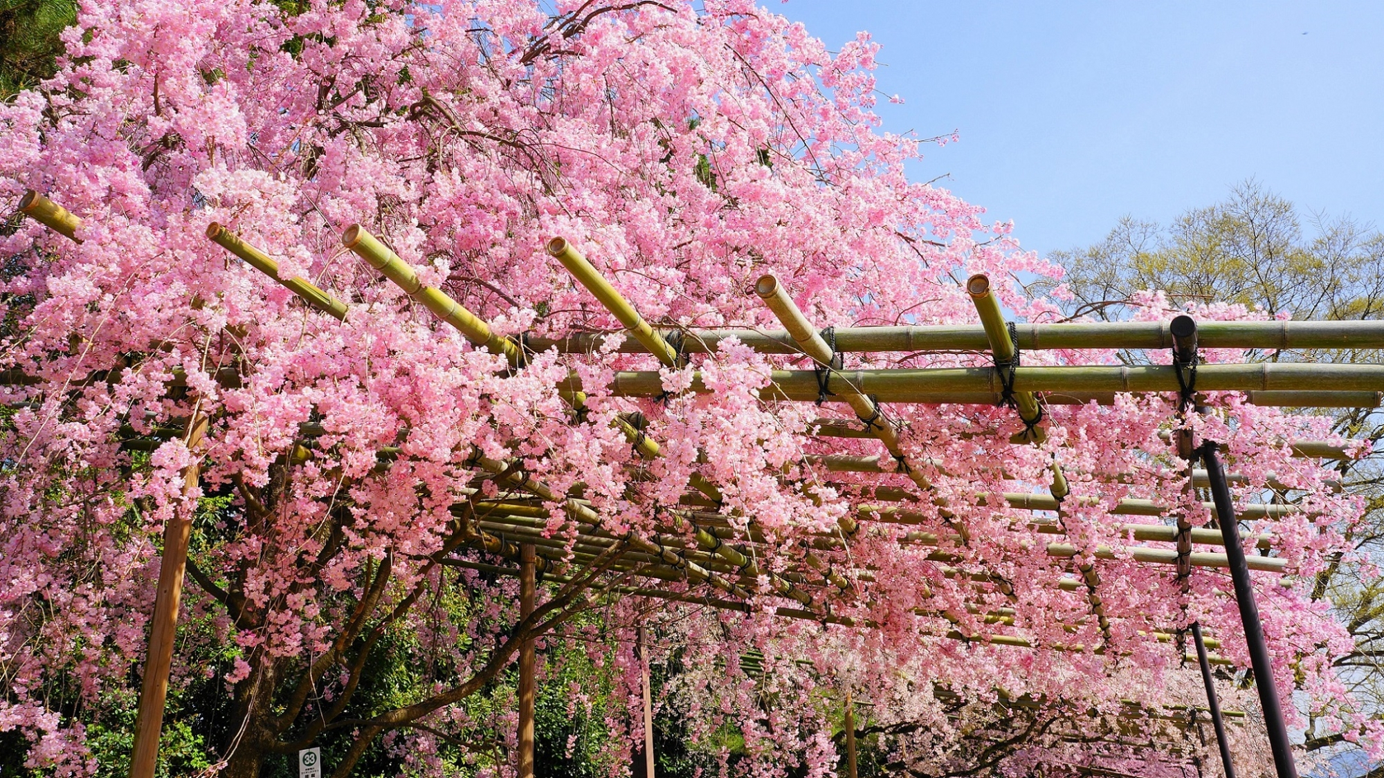 豪快に咲き誇る半木の道のしだれ桜