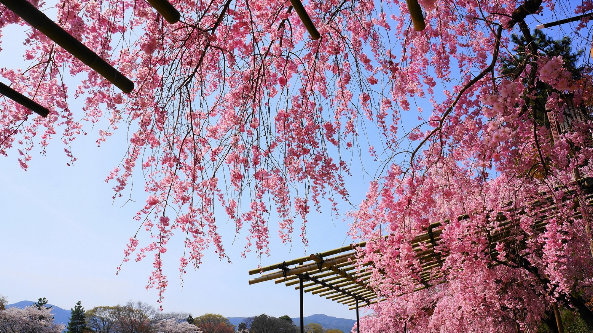 青空を染める華やかなピンクのしだれ桜