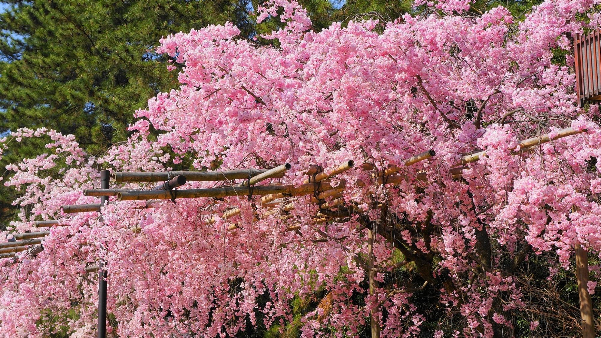 高画質 写真 桜 半木の道