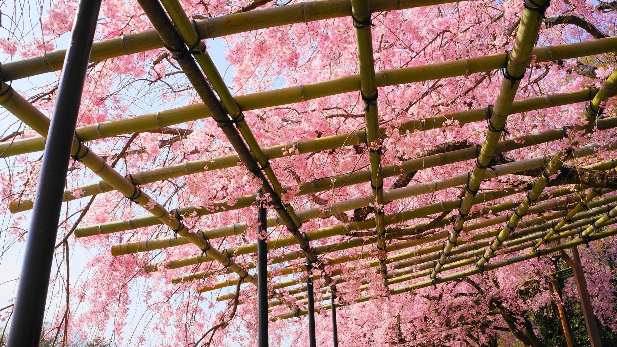 広がる桜のピンクの天井