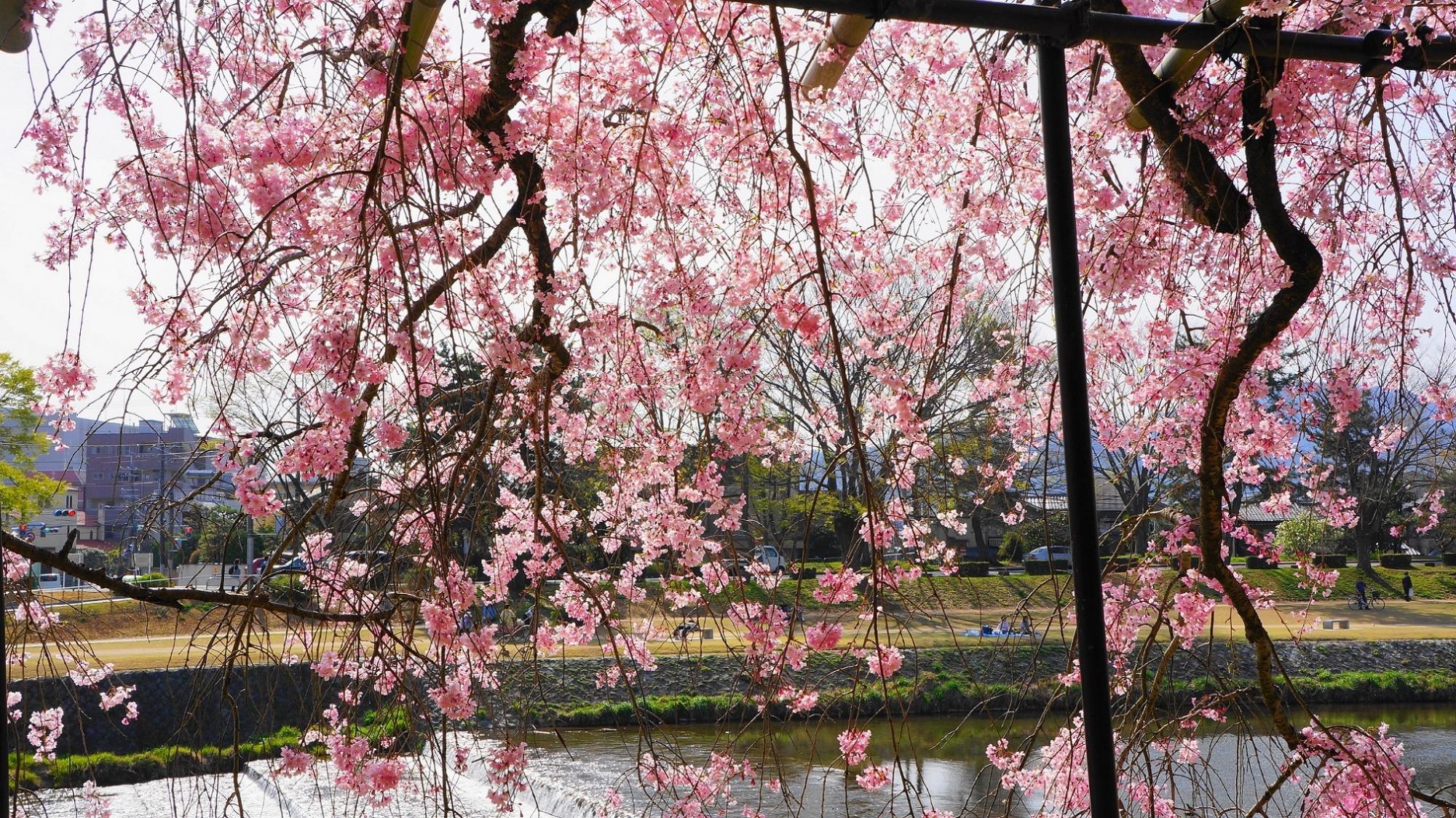 しだれ桜のトンネルになっている半木の道