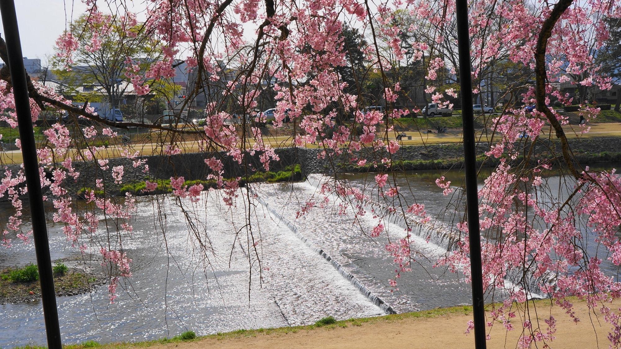 春の賀茂川を華やかに染めるしだれ桜