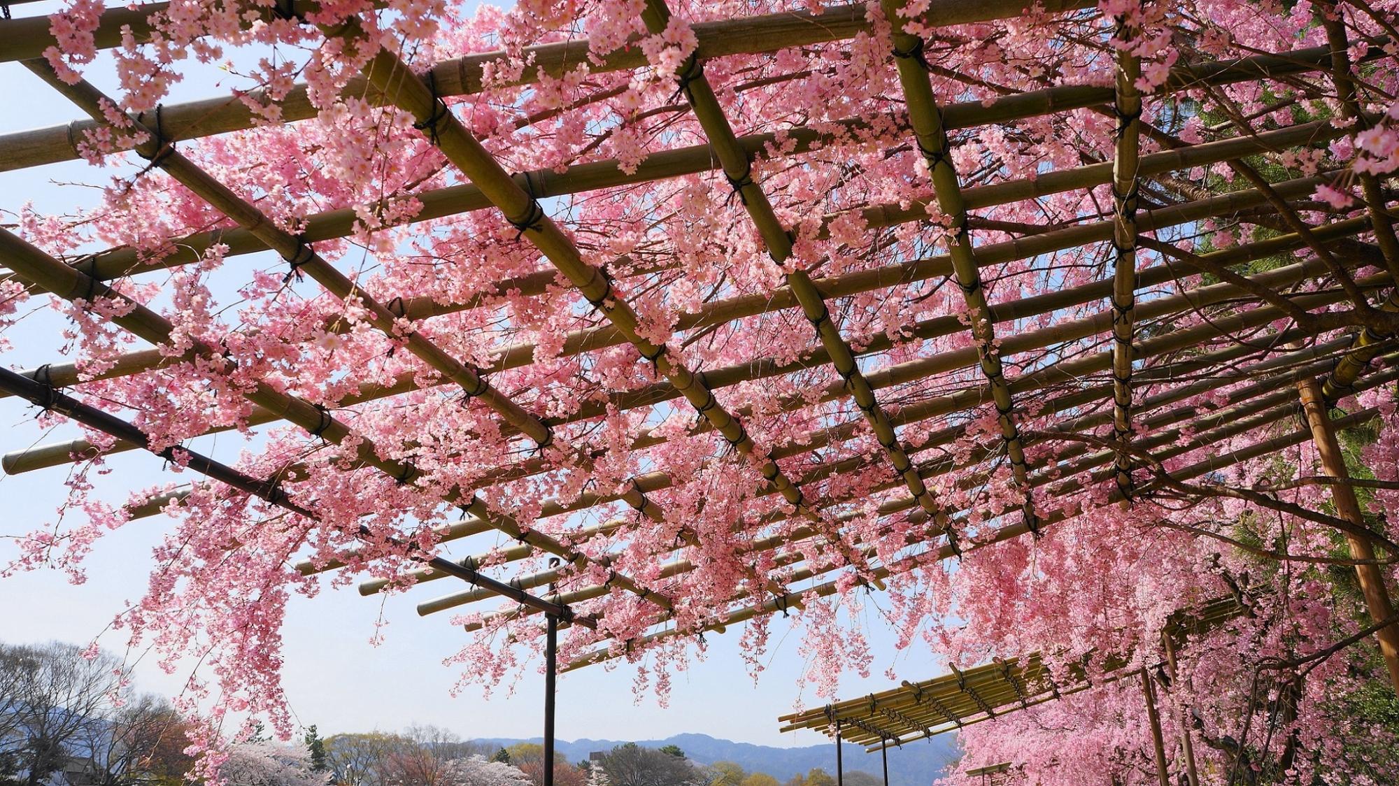 なからぎの道の空を覆う見事なしだれ桜並木