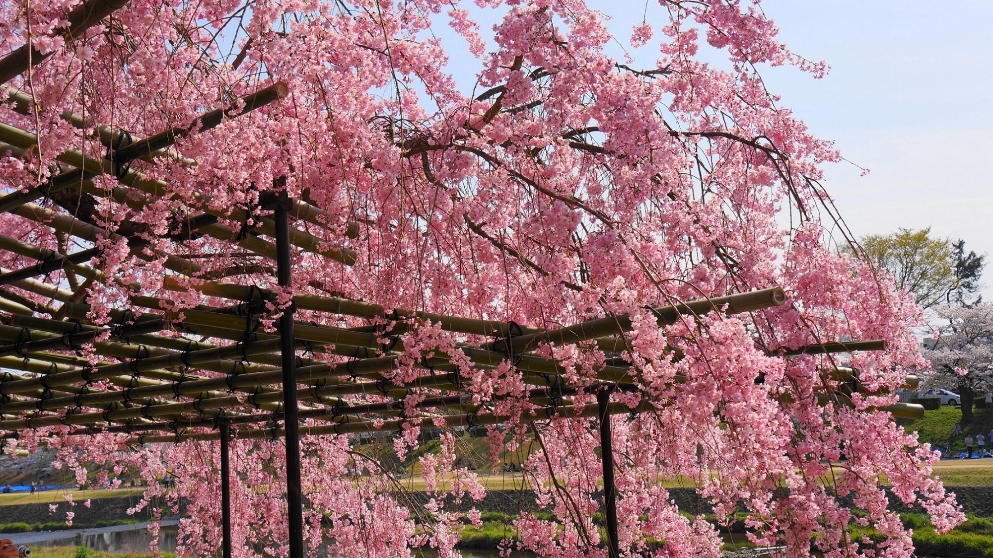 降り注ぐピンクの花のシャワー