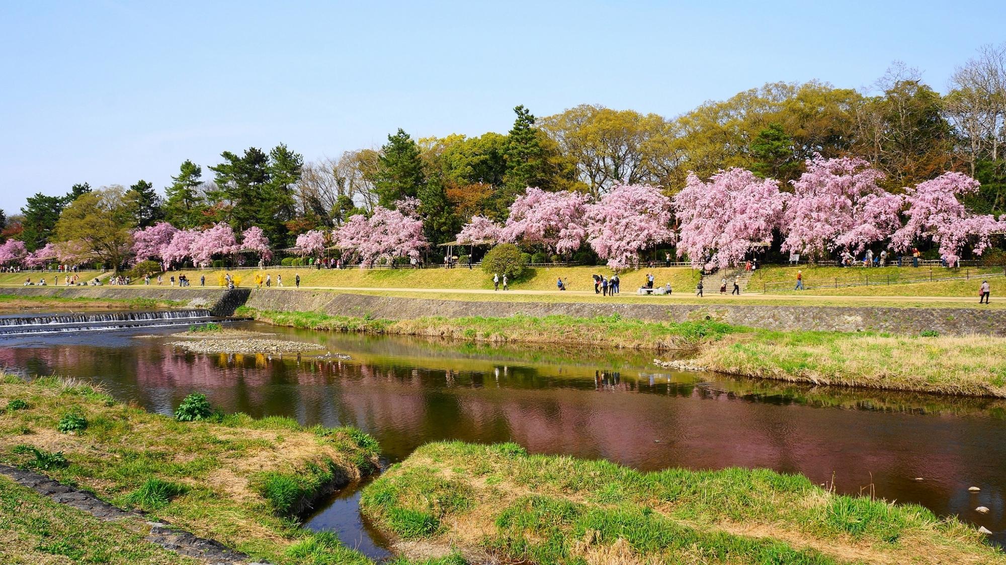 川面のピンクの桜の水鏡