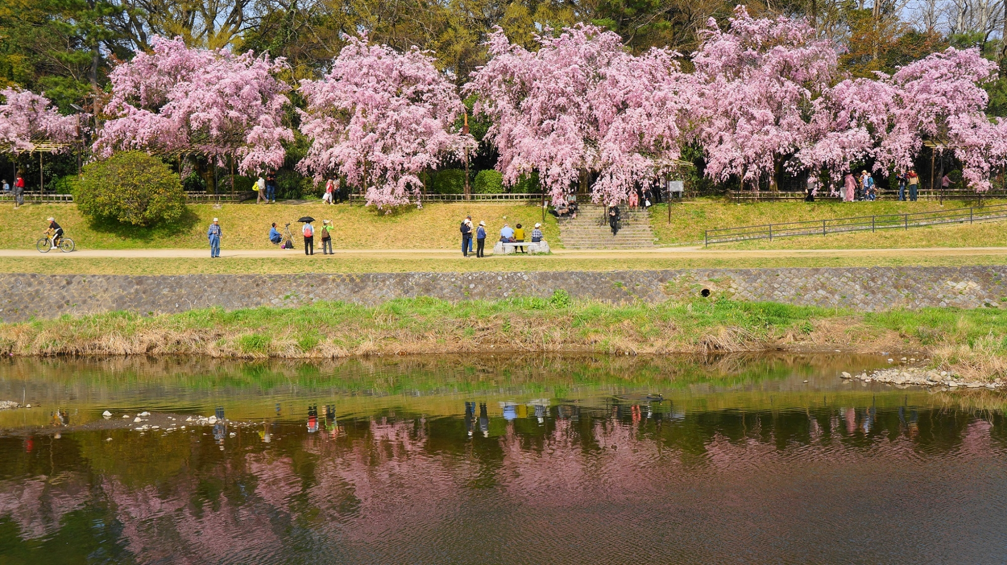 遠目から眺めるとモコモコトした雰囲気の違う桜