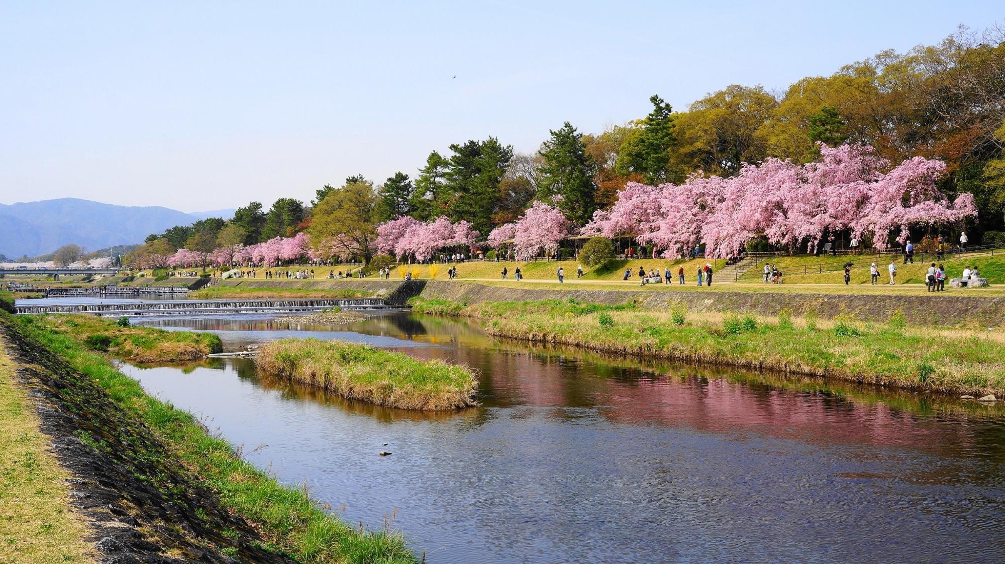対岸から眺めた半木の道のしだれ桜並木