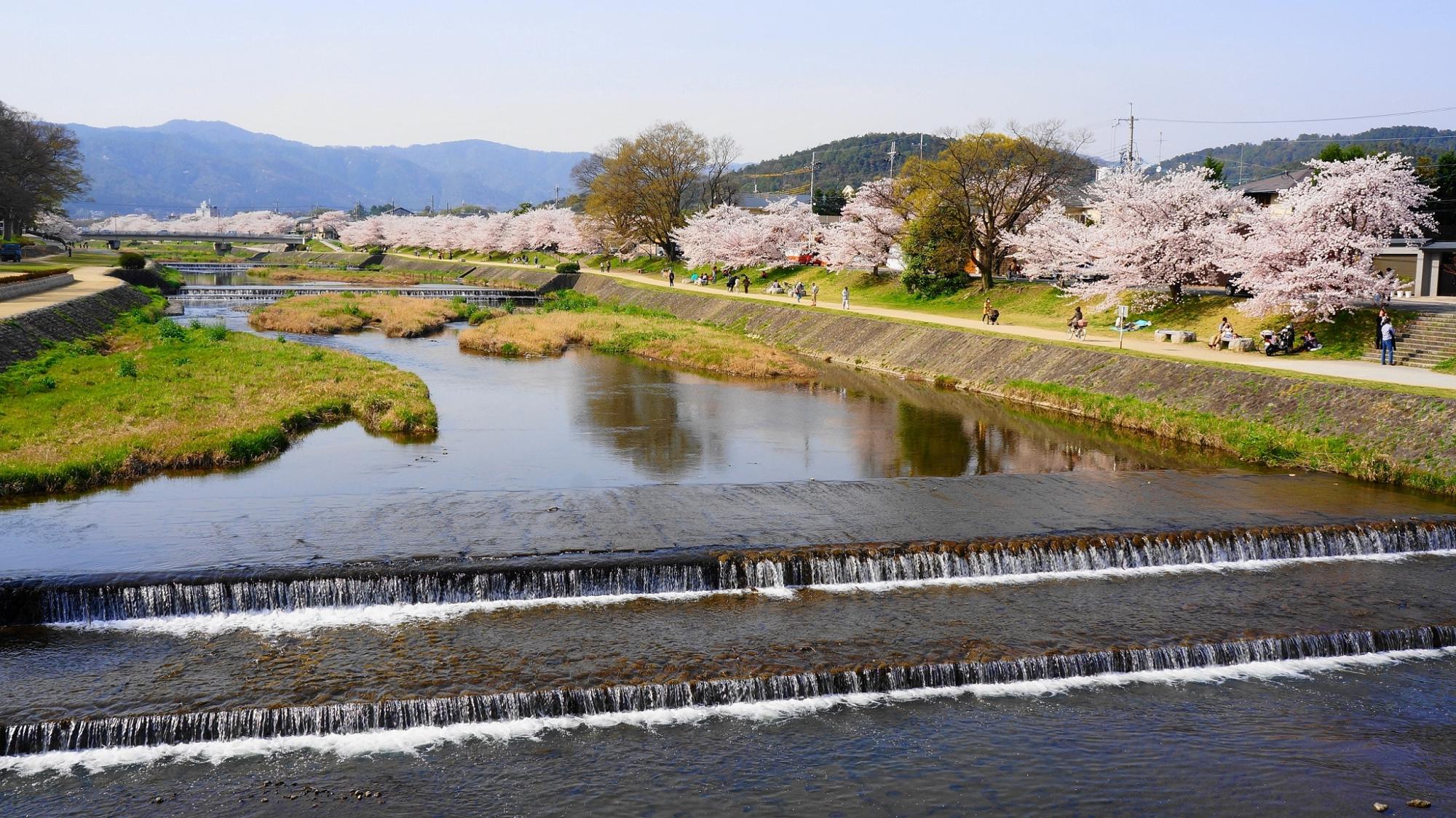 半木の道や賀茂川の素晴らしいしだれ桜や春の情景