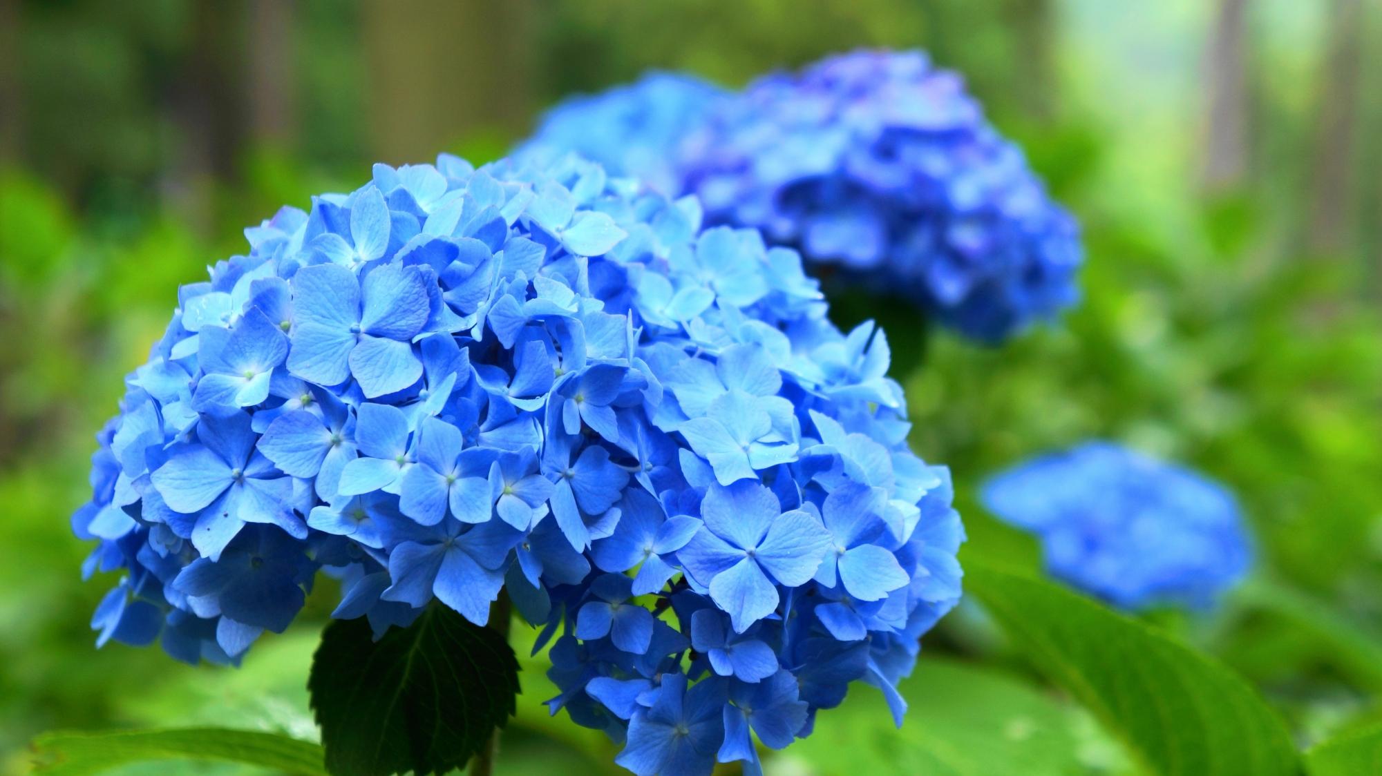 花の状態も良いようで花びら一枚一枚が綺麗なアジサイ