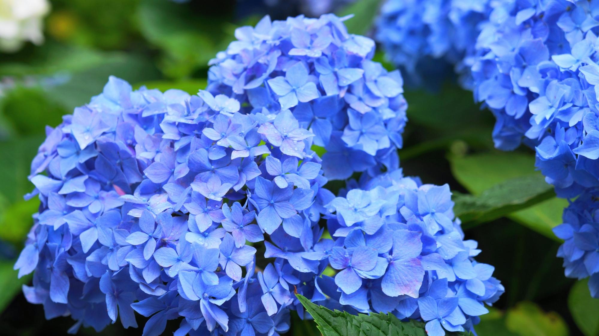 美しい花びらをたくさんつけて咲き誇る見事な紫陽花
